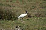 A woodstork walks along looking at the camera.