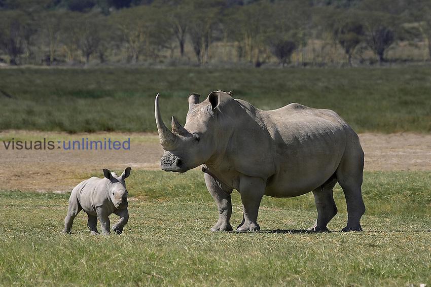 White Rhinoceros female and young (Ceratotherium simum), Kenya.