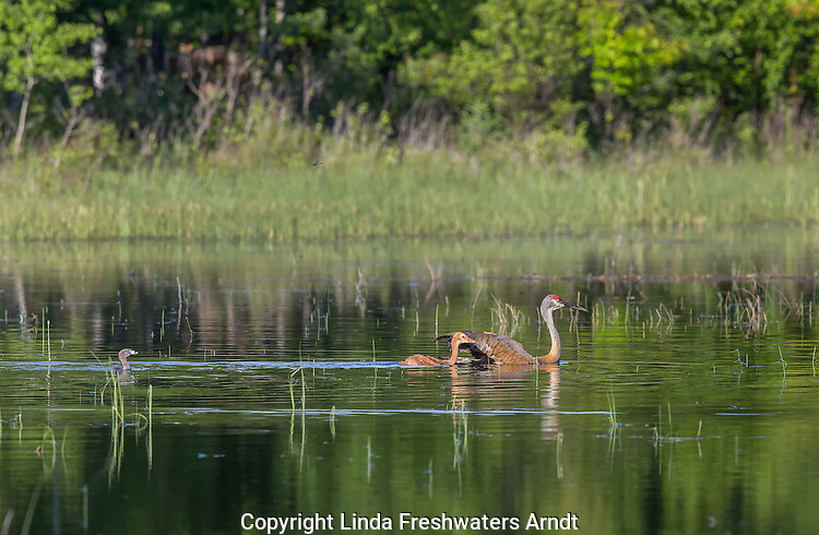 Sandhill cranes swimming to a bog