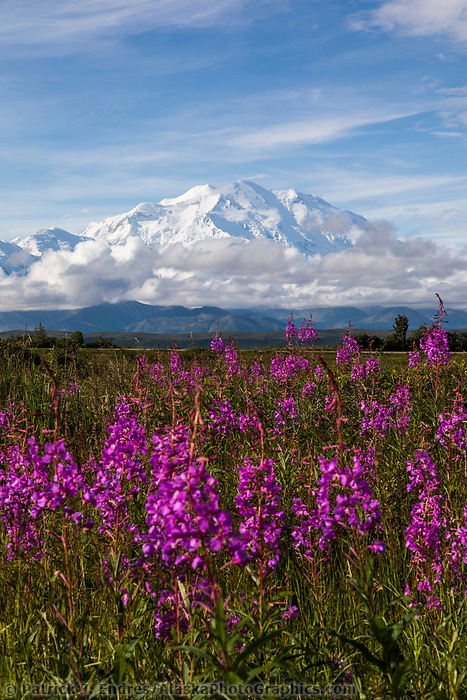 Pink fireweed blossoms and Denali, North America's tallest mountain. Denali National Park