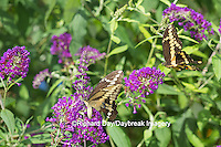 03017-01217 Giant Swallowtail butterflies (Papilio cresphontes) male and female at Butterfly Bush (Buddleia davidii)  Marion Co., IL