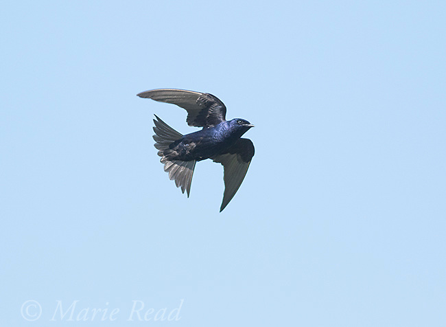 Purple Martin (Progne subis) male in flight, Montezuma National Wildlife Refuge, New York, USA