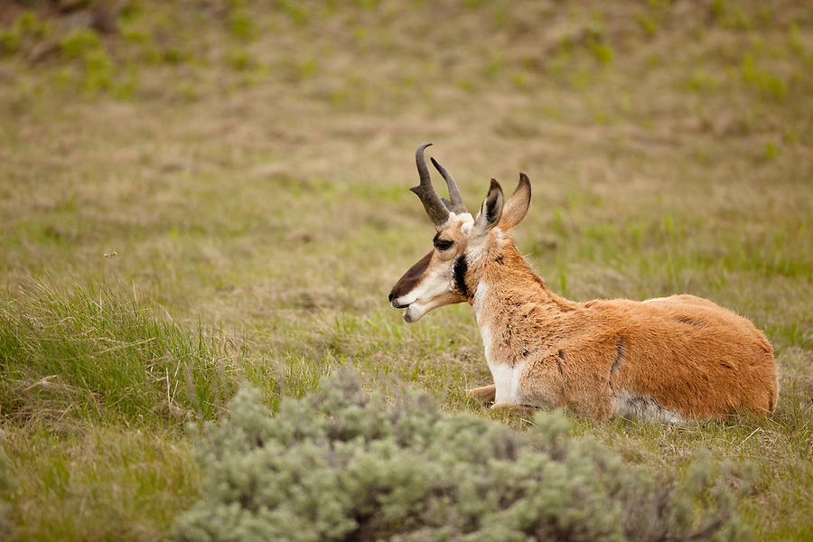 A single male pronghorn antelope is bedded down in a grassy hillside.