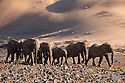Namibia;  Namib Desert, Skeleton Coast, Huab River, desert elephant (Loxodonta africana) herd walking up hill towards waterhole