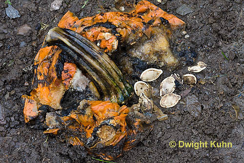 DC10-530z  Jack-o-Lantern decomposing in garden, returning nutrients to the soil.