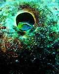 """Diving Bonaire, Netherland Antilles -- A small goby rests in the opening of a tube sponge.  (""""Hilma Hooker"""" dive site)."""