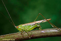 OR01-038b   Slender Meadow Grasshopper or Slender Meadow Katydid - female laying eggs on stem - Concephalus fasciatus.
