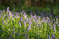 Bluebells - Hycanithoides non-scripta in Stoke Wood, Bicester