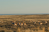 Pronghorn Antelope (Antilocapra americana) herd near the Oregon-Nevada border.  November.