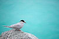 Arctic tern, Peterman Island, Antarctica.