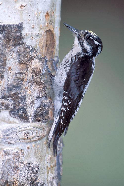 American Three-toed woodpecker - Picoides dorsalis - Adult male