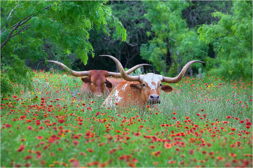 Along Highway 71 outside of Llano in the Texas Hill Country, I passed by this pair of longhorns resting in a field of wildflowers. I had to turn around and immediately pulled out the telephoto lens to photograph this scene. This iconic view of Texas has turned out to be one of my best selling prints- and one of my favorites, as well.