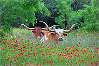Texas Longhorns and  other Wildlife