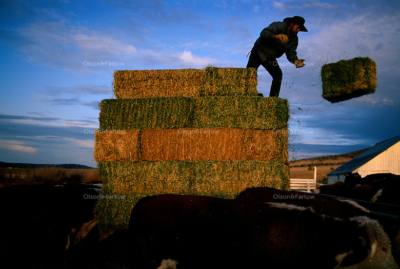 Ranch hand tosses a bale of hay to feed his cows on the dairy farm.