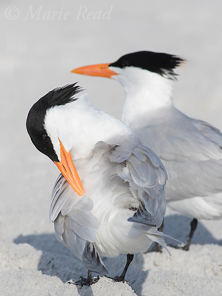Royal Terns (Sterna maxima), one preening, Fort De Soto Park, Florida, USA