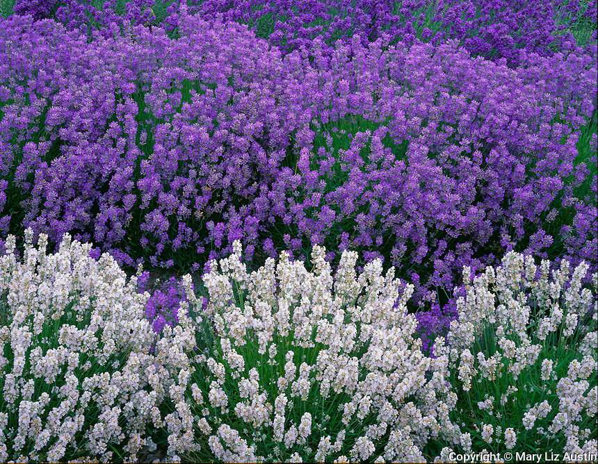Vashon Island, WA<br /> Detail of white and purple lavender (Lavendula vera) rows