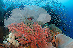 A school of fusiliers swims past several colourful seafans, Misool regions, Raja Ampat, Indonesia, Pacific Ocean