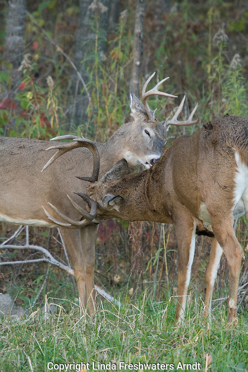 White-tailed bucks (Odocoileus virginianus) grooming each other