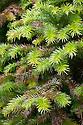 China Fir (Cunninghamia lanceolata syn. Cunninghamia lanceolata var. sinensis), late March.