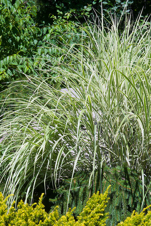 Miscanthus sinensis variegatus ornamental grass with evergreens gold green