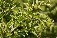 Felsen-Kreuzdorn, Felsenkreuzdorn, Rhamnus saxatilis, Rhamnus infectoria, Avignon Berry, Rock buckthorn, Le Nerprun des rochers