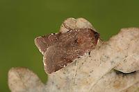 Red Chestnut - Cerastis rubricosa