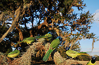 Green Jay (Cyanocorax yncas), group in Live Oak tree (Quercus virginiana), Dinero, Lake Corpus Christi, South Texas, USA