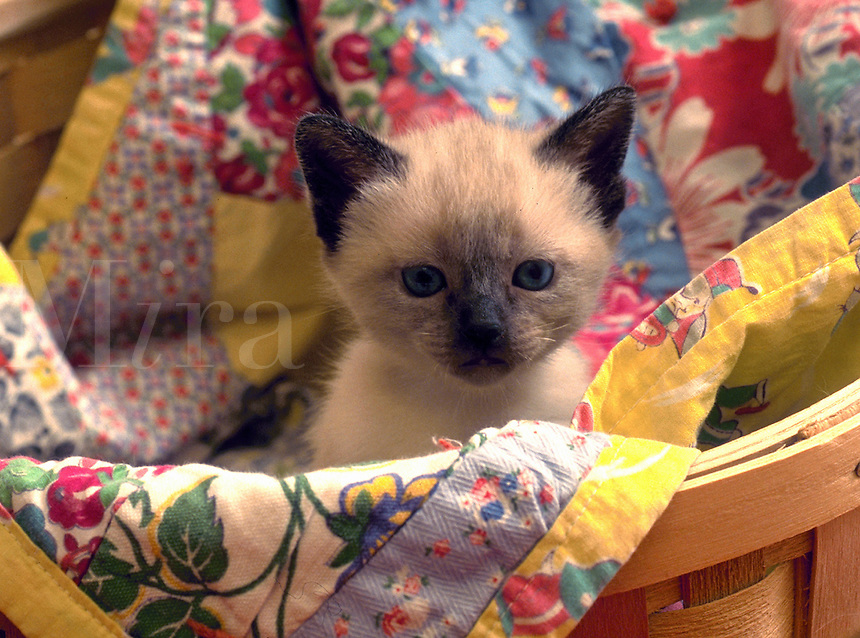 Portrait of a siamese kitten in a basket.