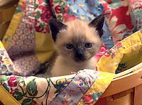 Portrait of a siamese kitten in a basket.
