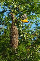 Altamira Oriole (Icterus gularis), adult leaving nest, Laguna Atascosa National Wildlife Refuge, Texas, USA