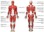 Muscular (Musculature) System Anatomy