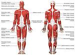 Muscular (Musculature) System Anatomy