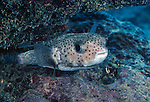 Moorea, French Polynesia; Porcupinefish (Diodon hystrix), solitary, except when courting, found in coral and rocky reefs to 50 meters, Circumglobal, tropical, subtropical and warm temperate seas, to 71 cm , Copyright © Matthew Meier, matthewmeierphoto.com All Rights Reserved