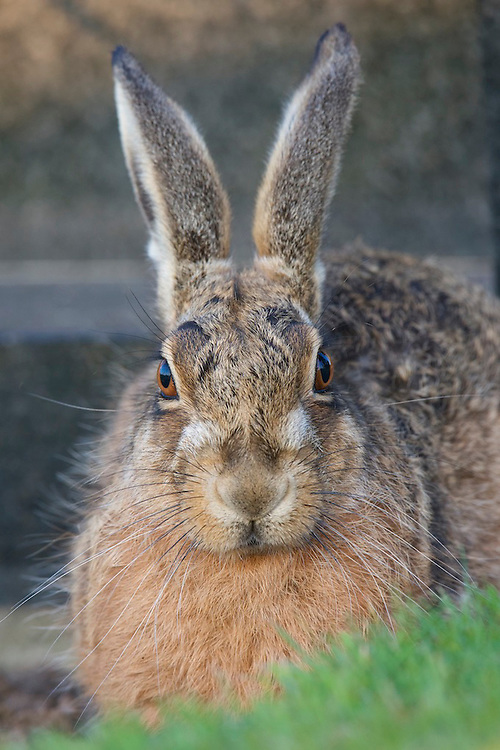 A Brown hare in front of a gravestone at a cemetery in  England