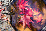 2016 Japanese_red_Maple_Leaves