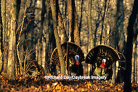 00845-06820 Eastern Wild Turkeys (Meleagris gallopavo)  males/gobblers strutting  Stephen A. Forbes SP Marion Co.  IL