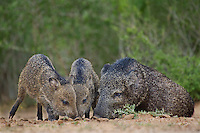 650520305 wild javelinas or collared peccaries dicolytes tajacu forage near a waterhole on santa clara ranch in starr county rio grande valley texas united states