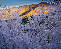 Ice-covered trees, Great Smoky Mountains National Park, Tennessee Newfound Gap, Southern Appalachian Mountains, North Carolina border, January