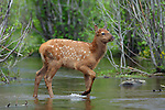 Rocky Mountain Elk Calf in Water