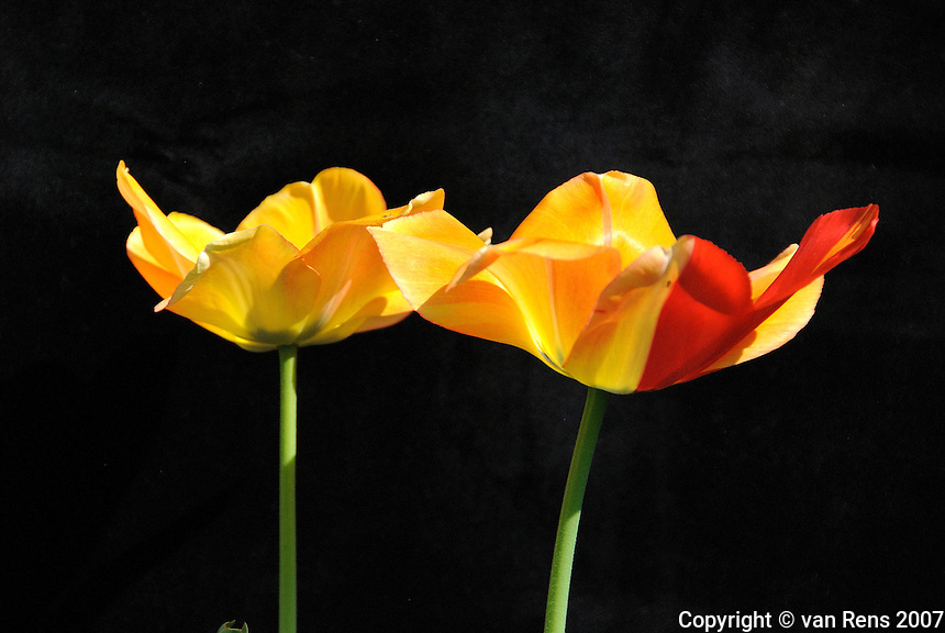 Spring Tulips on black backdrop