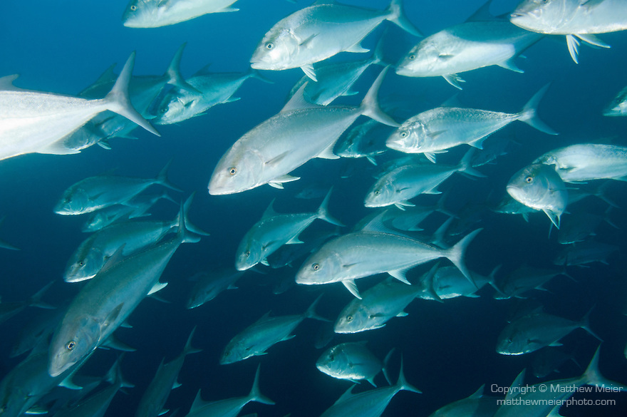 Cocos Island, Costa Rica; a school of Almaco Jack (Seriola rivoliana) fish swimming in circles in the blue water of the open ocean