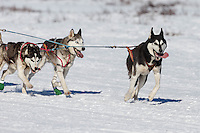 Lisbet Norris Siberian dogs run on Long Lake during the Restart of the 2016 Iditarod in Willow, Alaska.  March 06, 2016.