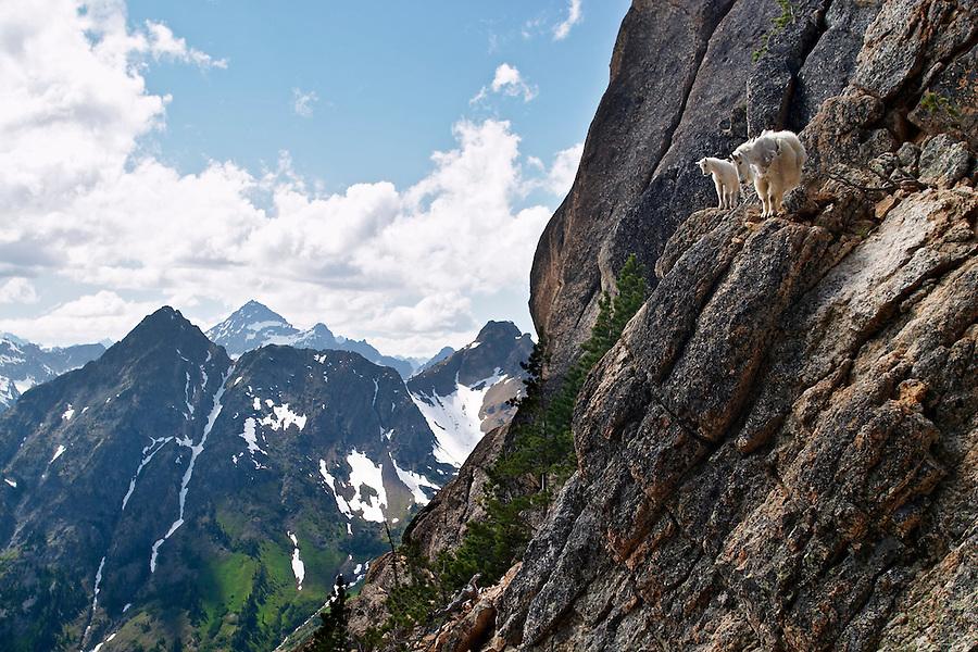 Mountain goats on cliff face, Liberty Bell Mountain, Chelan County, North Cascades, Washington, USA