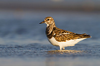 Adult Ruddy Turnstone (Arenaria interpres) standing in shallow water on shore of a barrier island. Terrebonne Parish, Louisiana. October.
