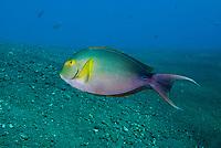 Yellowfin Surgeonfish, Acanthurus xanthopterus, Liberty Wreck dive site, Tulamben, near Seraya, Bali, Indonesia, Indian Ocean