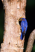 01377-13719 Eastern Bluebird (Sialia sialis) male at nest cavity  Marion Co. IL