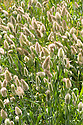 Hare's tail (Lagurus ovatus), mid August. Annual grass native to the Mediterranean.