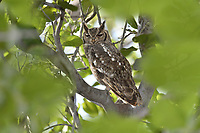 Greyish Eagle-owl - Bubo cinerascens