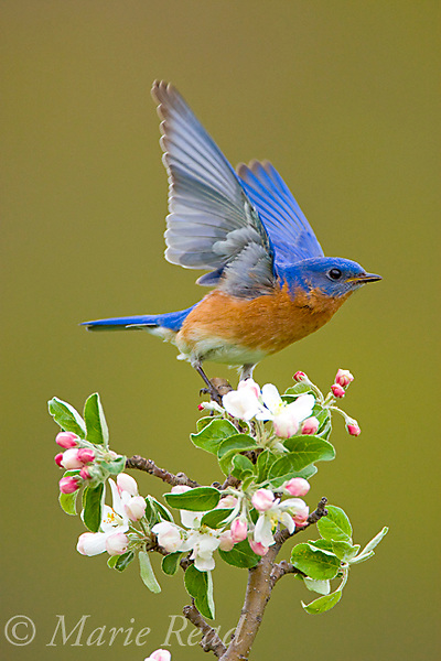 Eastern Bluebird (Sialia sialis), male performing wing-wave display to nearby female, perched on apple blossom in spring, New York, USA
