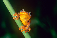 427250001a Java Gliding Frog Rachophorus reinwardti CAPT.Perched on Green Stem.Native to Malaysia
